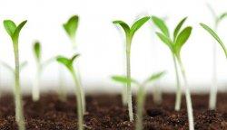 Як можна перевірити схожість насіння. Детально про зливу