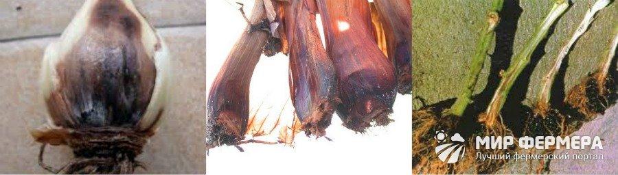 Хто їсть листя лілії. Що робити, якщо червоні жучки обїдають листя лілій? жук піскун або лілієвий жук