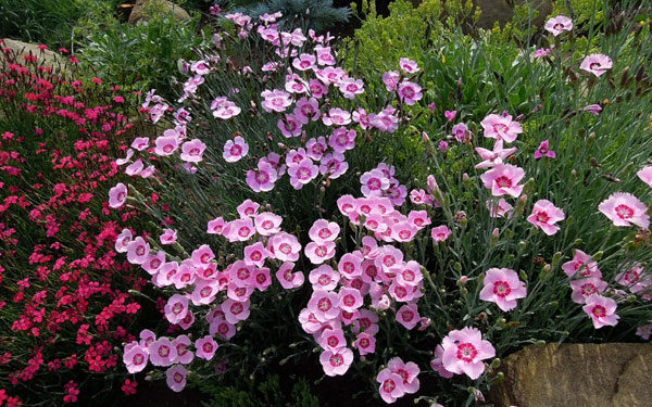 Альпійська гірка з багаторічних квітів. Рослини, які підходять для альпійської гірки (фото і назви)