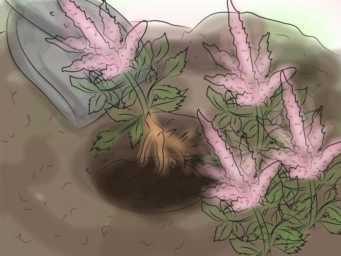 Коли цвіте астильба після посадки. Посадка астильби у відкритий грунт: правила догляду та вирощування
