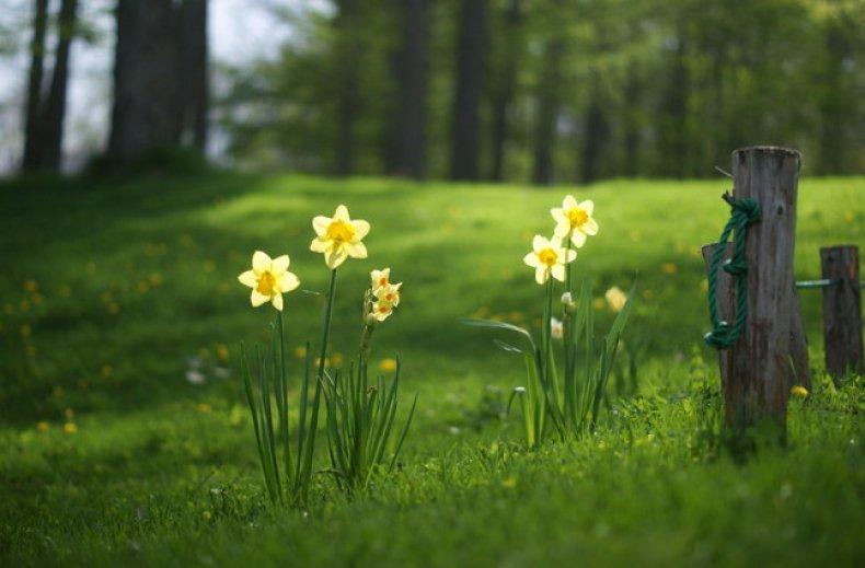 Місячний календар:коли садити тюльпани та інші цибулинні восени. Правильна пересадка тюльпанів і нарцисів садити нарциси і тюльпани восени