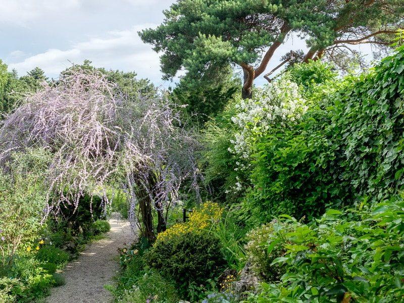 Буддлея давида-декоративні дерева і чагарники для сонячних місць. Буддлея-магніт для комах буддлея давида опис