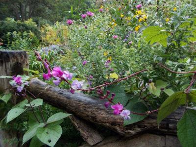 Як садити доліхос кущ. Ліана доліхос: особливості вирощування та догляду