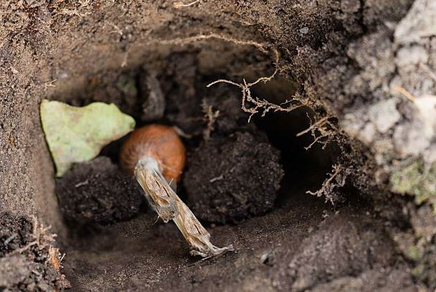 Ацидантера вирощування і догляд в домашніх умовах. Ацидантера - гостра квітка