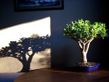 Чи можна дарувати грошове дерево? як змусити цвісти грошове дерево чи можна тримати вдома квітка грошове дерево.