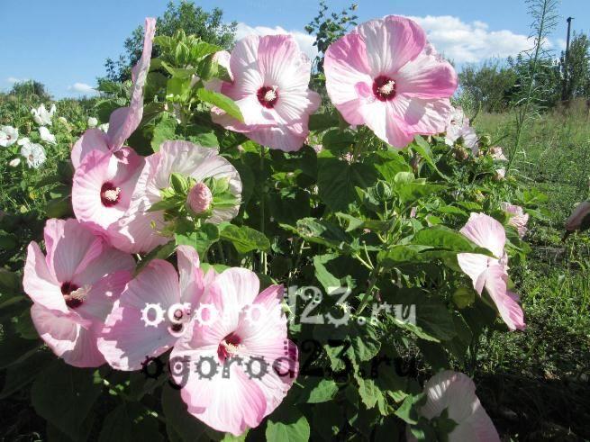 Як зимує гібіскус садовий: вирощування і фото в саду. Як зимує в саду гібіскус деревоподібний дерево гібіскус вуличний