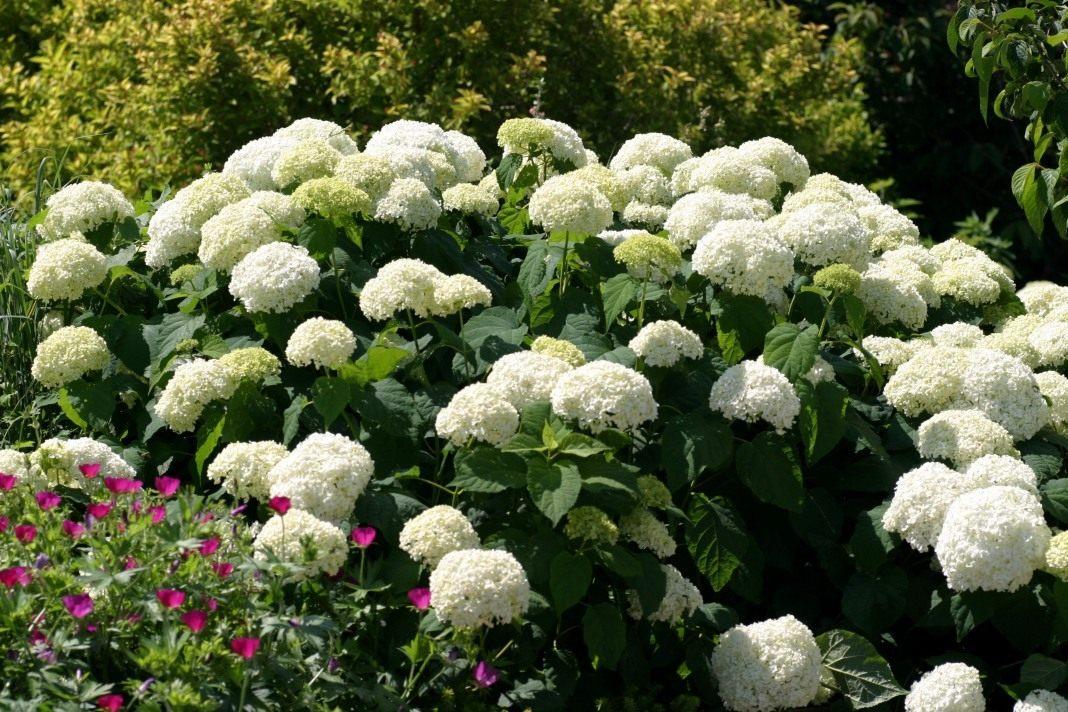 Гортензія: види і кращі сорти для російського саду. Гортензії: види і сорти для російських садів квітка схожий на гортензію