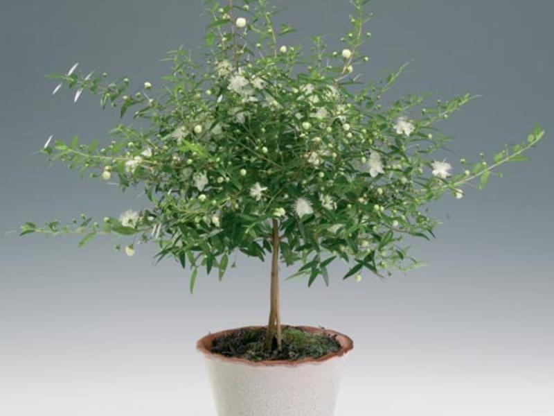 Як виростити мирт в домашніх умовах. Мирт - як виростити райське дерево на підвіконні мирта догляд за домашніми рослинами
