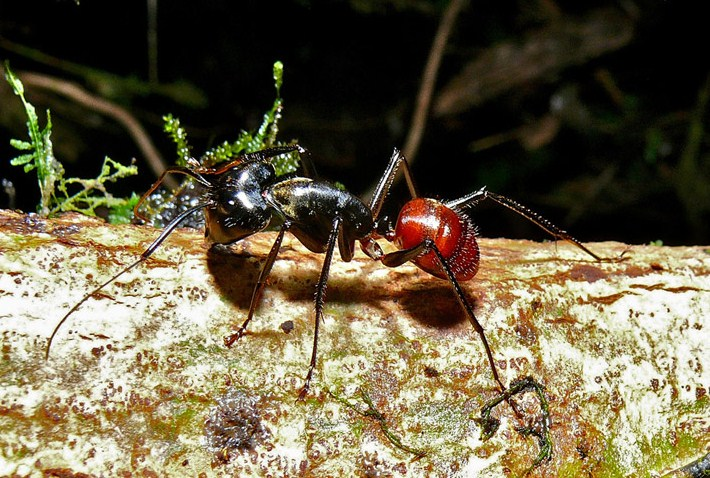 Мураха комаха. Спосіб життя і середовище проживання мурашки