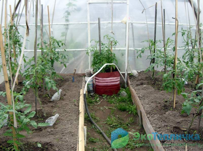 Коли і скільки поливати помідори. Поливання помідор - як краще і коли правильно? полив в різних умовах