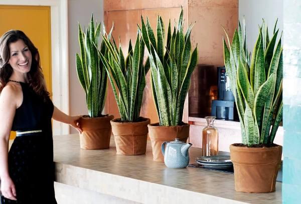Домашні квіти тещин язик. Квітка» тещин язик: опис, фото, догляд в домашніх умовах